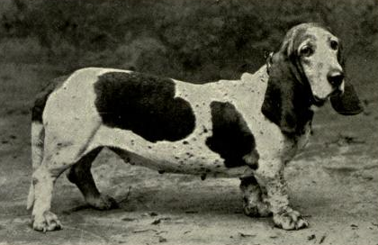 Mr J.W. Proctor's Smooth Basset-Hound Bitch Ch. Queen of the Geisha