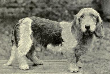Mrs. Tottie's rough-coated Basset-Hound dog Ch. Puritan